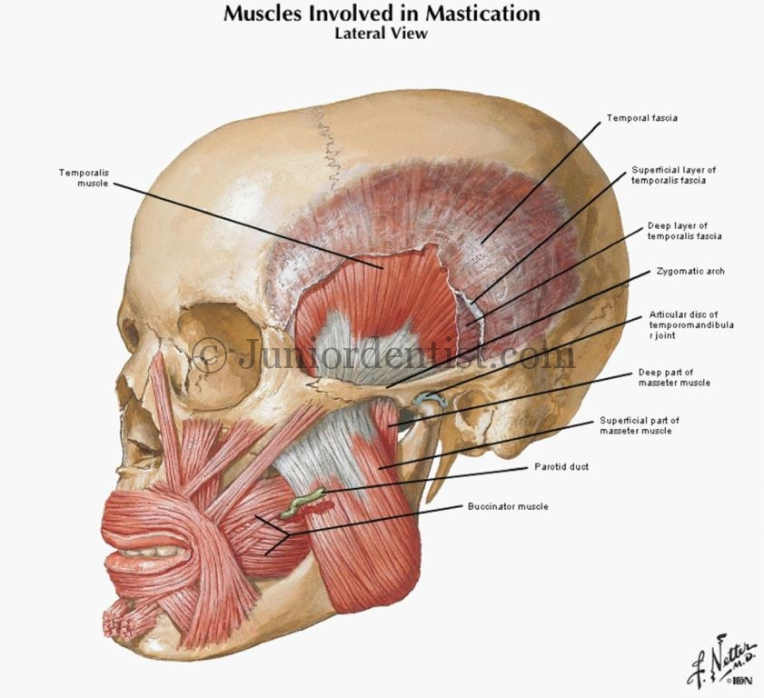 Muscles of mastication lateral view