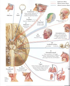 Cranial Nerves and their Funcitons