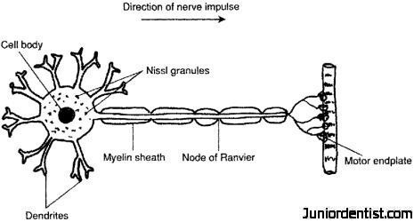Motor Neuron Function Images