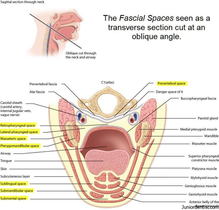 Fascial Spaces of Head and Neck region | Classifiaction of Fascial ...