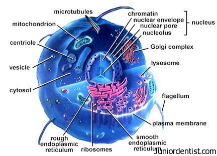 Cell Organelles Function