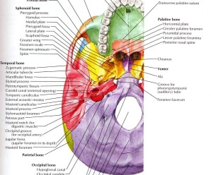 Structures passing trough Foramen of skull