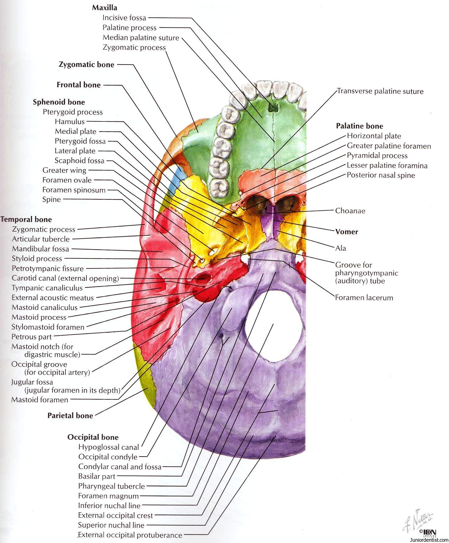 Structures passing trough Foramen of skull | Foramen of Skull