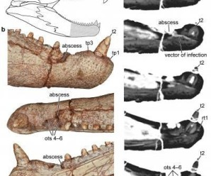 Oldest Tooth infection in Paleozoic reptile