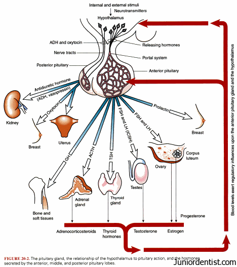 Pituitary Gland Hormones and their Functions