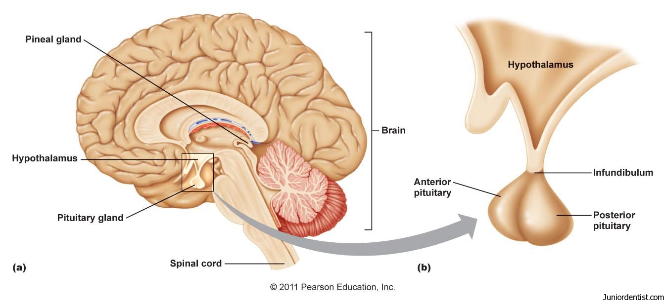 the anterior lobe of the pituitary gland is called the