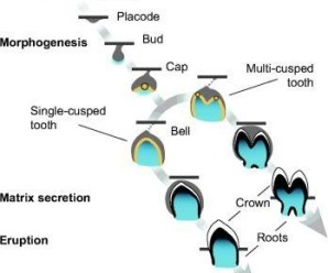 Abnormalities in physiologii stages of tooth development