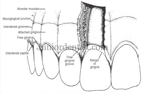 Keratinized and Non Keratinized epithelium of Oral mucosa