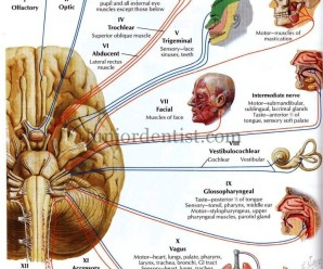 division of cranial nerves based on type and function