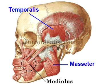 modiolus of face and mouth