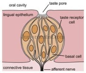 Cells Supporting Taste Buds