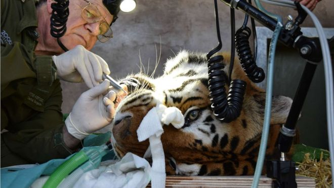 Dental treatment for Tiger