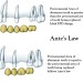 Antes Law for FPDs in Prosthodontics