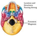 Foramen Magnum location and structures passing through it