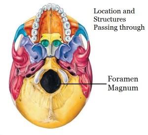 Foramen Magnum location and structures passing through it