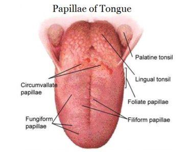 Papillae of tongue - Histology and Anatomy