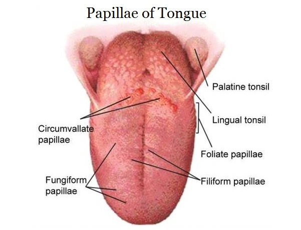 List Of Papillae Of Tongue Location And Histology