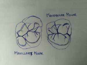 Differences between maxillary and mandibular molars