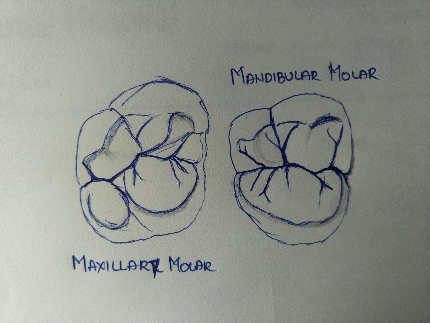 Differences between Maxillary and Mandibular First and Second Molars