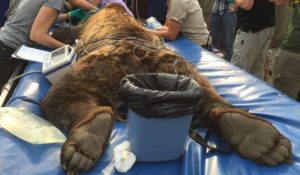 Root Canal procedure for a Grizzly bear