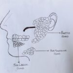 Composition of Saliva and its Functions
