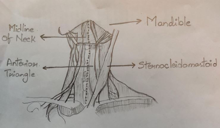 Triangles of the Neck - Anatomy, Borders and Contents
